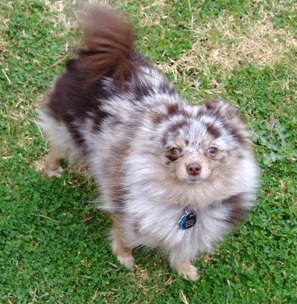 ~ Chocolate Merle Pomeranian ~ looks like my bella