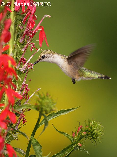 Ruby-throated Hummingbird feeding at Lobelia cardinalis Cardinal flower