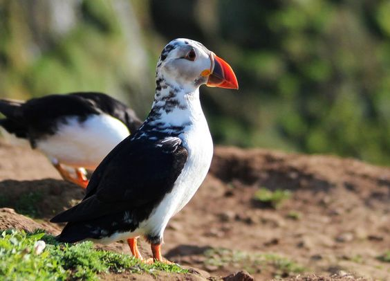 White puffin by Ptitenanette