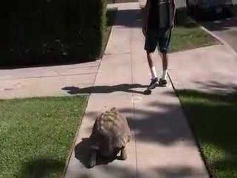 How To Properly Take Care Of A Big Tortoise Tortoises Pets
