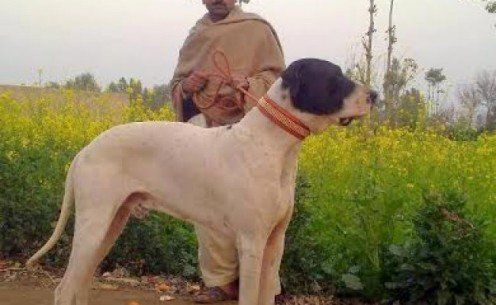 Top 20 Indian Dog Breeds Purchasing Price And Care Dogs Dog Breeds Bully Dog