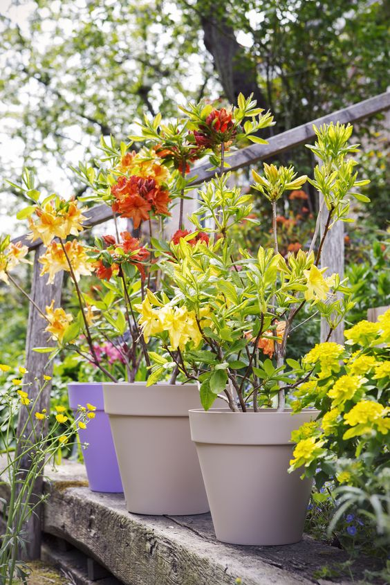 Orangefarbene Blüten der Gartenazalee im rustikalen The World Beyond-Garten. #pflanzenfreude.de #azalee #frühling #garten
