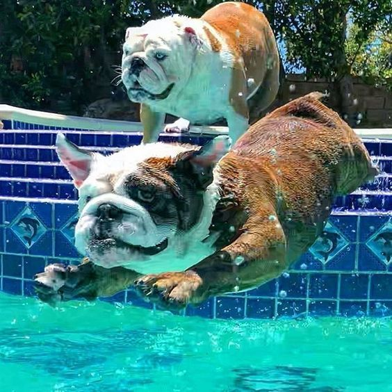 5 Reasons Bulldogs Are Awesome Videos Bulldog Breeds Bulldog