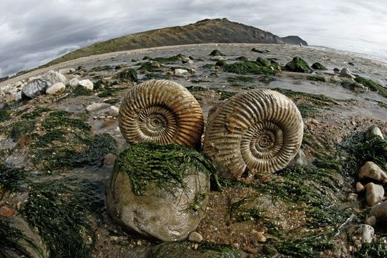 Pair of Ammonite fossils at Charmouth beach Submitted by ...