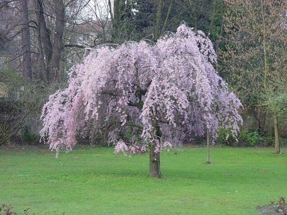 cerisier pleureur japonais arbres sol argileux et ou humifere pinterest. Black Bedroom Furniture Sets. Home Design Ideas