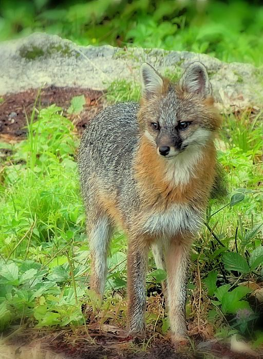 Beautiful Gray Fox Is Standing In Our New Hampshire