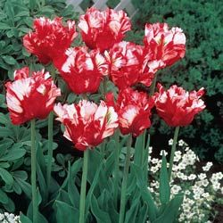 Red And White Parrot Tulips