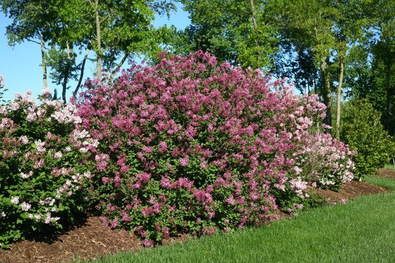Bloomerang Dark Purple Reblooming Lilac Syringa X Landscaping Around Trees Front Yard Landscaping Rose Garden Portland