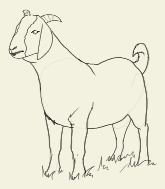 How To Draw Goat Learn To Draw A Goat Step By Step Images Along With Easy To Follow Instruction The Domestic Goat Is A Subspecies Of Sheep Art Drawings Goats