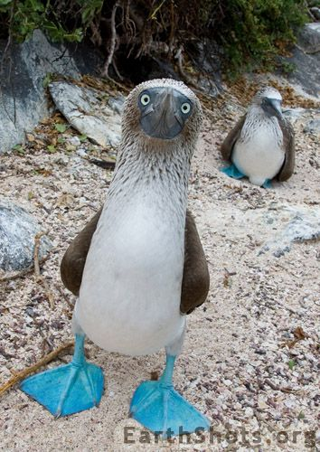 """Male Blue-footed Booby is """"guarding"""" his mate & their egg on Galapagos island of San Cristobal."""