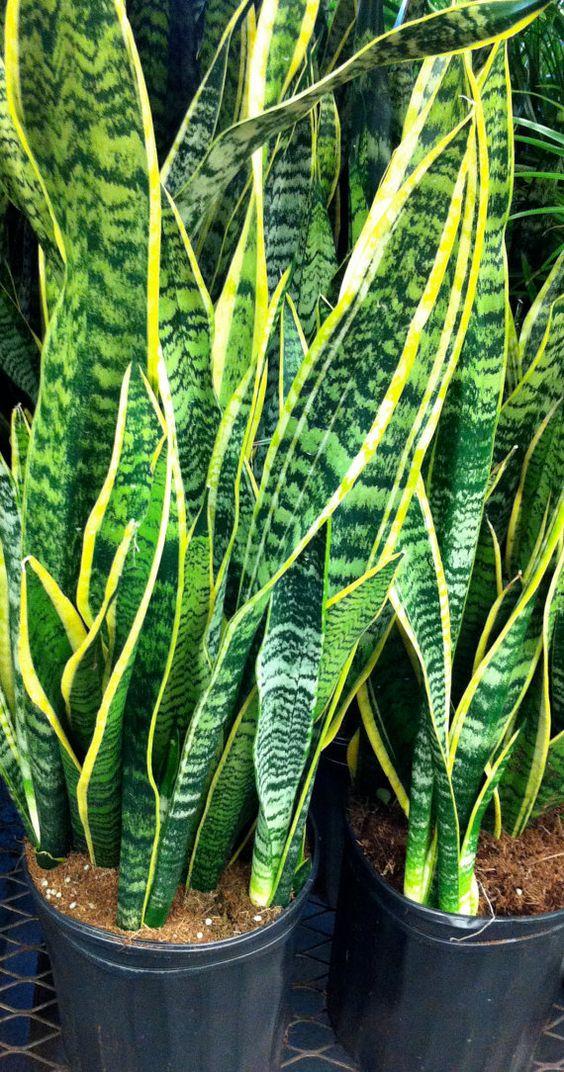 variegated snake plant 6 pot live succulent tropical house plant sansevieria pinterest. Black Bedroom Furniture Sets. Home Design Ideas