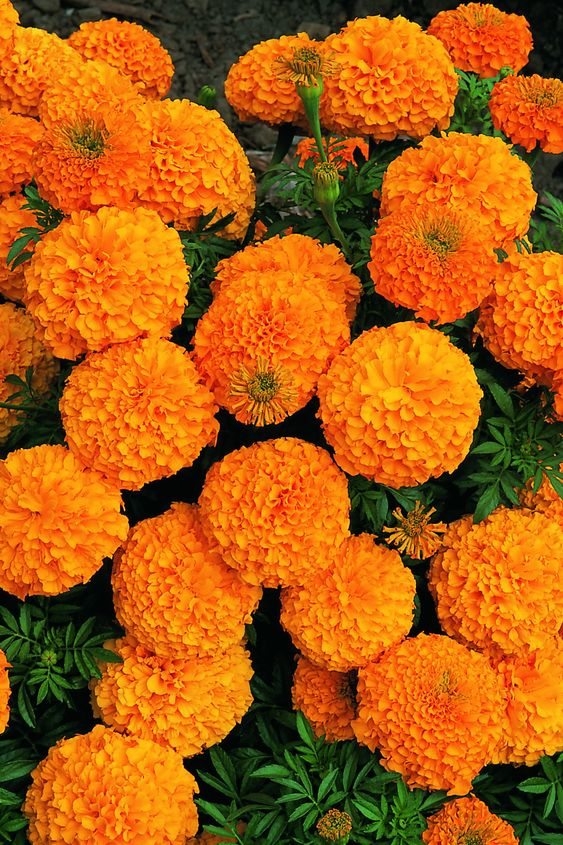 marigold-flower-plant-with-orange-and-yellow-colors