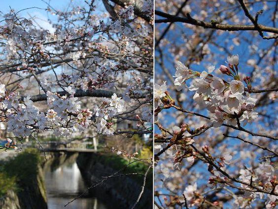 京都 哲学の道 桜 2014/03/30