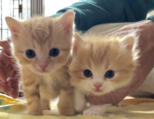 マンチカンのブリーダー 京都のまんちの樹 マンチカン専門ブリーダーまんちの樹 京都 大阪 奈良 滋賀 兵庫 マンチカン かわいい子猫 子猫