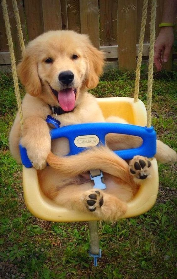 22 Times Golden Retriever Puppies Were The Cutest Society19