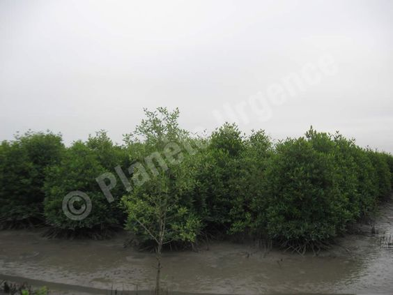 Projet de reforestation des forêts de mangroves en Indonésie - Plants âgés de 4 ans dans la région de Banda Aceh (Planète Urgence - 2012)