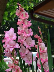 """Wikipedia for Gladiolus. The flower means """"strength of character."""" They range in color, including pink to reddish or light purple with white, contrasting markings, or white to cream or orange to red."""