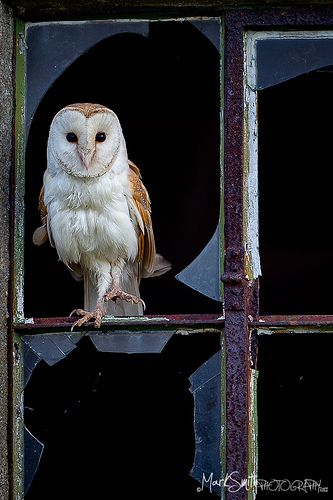 Barn Owl.       Well, yes, officially I am a Barn Owl. However, that doesn't preclude the occasional visit to an abandoned house now and again. Or any derelict structure for that matter.