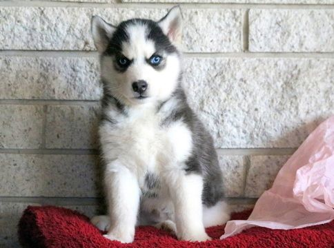 Siberian Husky Puppy For Sale In Mount Joy Pa Adn 60630 On