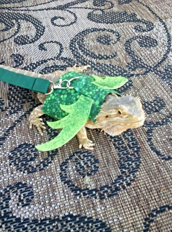 Green bearded dragons - photo#27