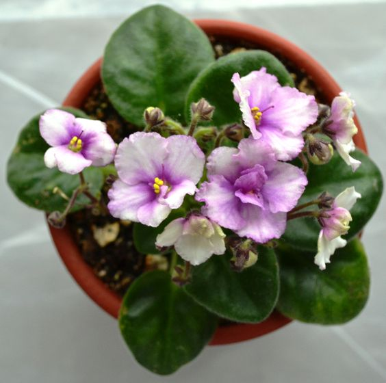 Ness Angel Eyes African Violet Plant