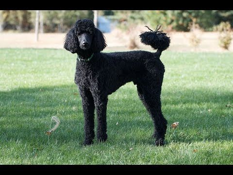 Standard Poodle Dog Dog Breeds The Facts Info Dog Training