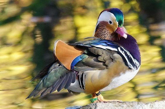 Kostenloses Bild auf Pixabay - Tiere, Vogel, Ente, Mandarinente