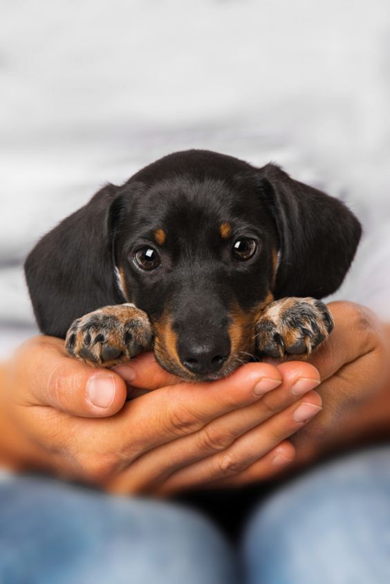 Black And Tan Dachshund Puppy Blackandtan Pets Dogs
