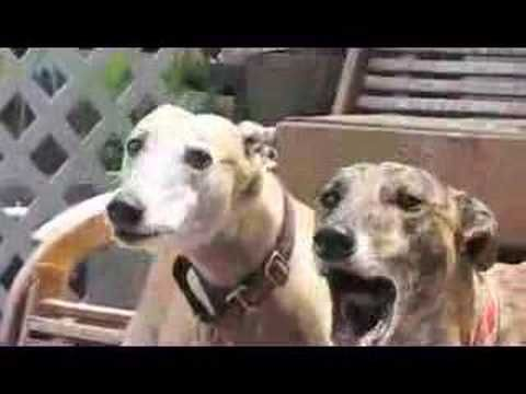 Greyhounds Rooing