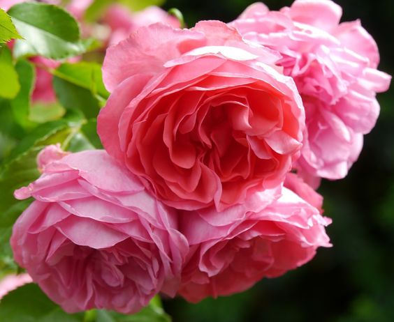 klimroos 'Morning Jewel' – Cocker (1968) – ADR 1975-2012 - AGM 1993. Halfgevulde helderroze bloemen (8-10cm) in kleine trosjes. Robuust, doet het nog behoorlijk op winderige of schaduwrijke standplaats. Veel glanzend loof. Goed resistent. 3m x 2.5m.