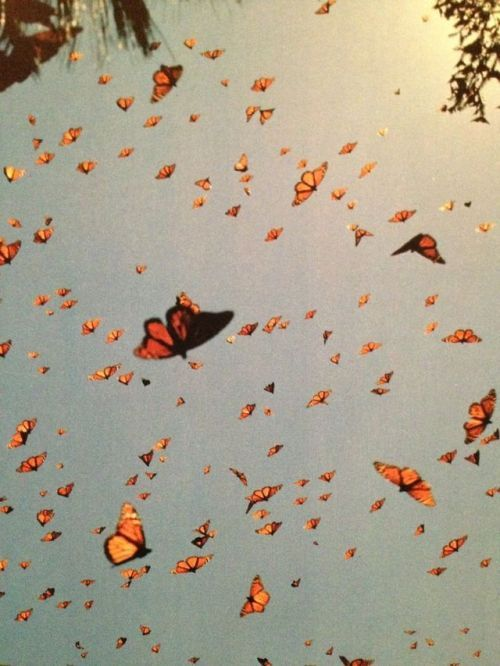 Monarch Butterflies Found On Pinterest Snapshot From