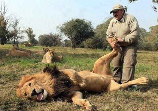 Porque los leones también se relajan...