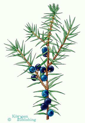 Wacholderbeeren. Juniper berries botanical  illustration. Copyright Köppen Publishing.