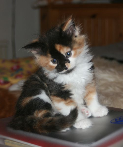 Calico kitten...want! A long haired polydactyl (extra toes) calico is my dream kitty