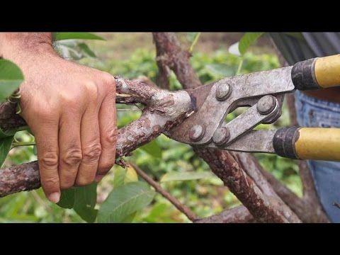Cómo Anillar Un árbol De Aguacate Para Inducir Floración Youtube árbol De Aguacate Aguacate Cultivar Guayaba