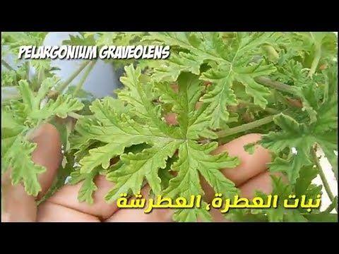 زراعة و تكاثر نبات العطر العطرة عطرشة و فوائد العطرية Pelargonium Graveolens Youtube Planting Herbs Herbs Plants