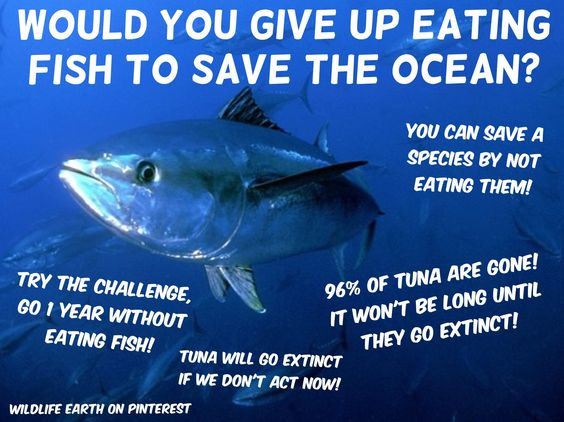 The tuna species will go extinct if we don 39 t act now 96 for Expensive fish to eat