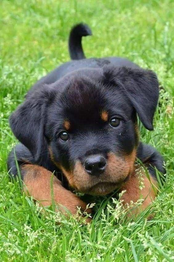 Aww Baby Rottweiler Hes So Innocent With Images Cute