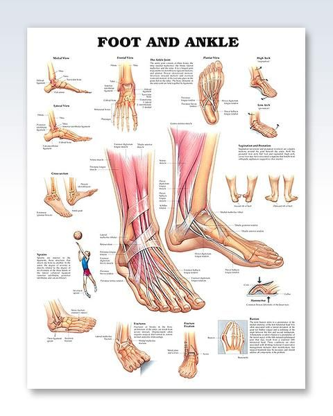Foot And Ankle Anatomy Poster Ankle Anatomy Muscle Anatomy Foot Anatomy