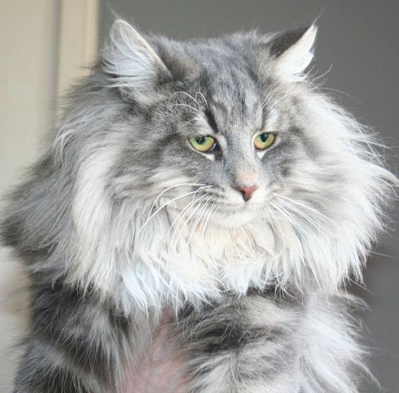 Blue silver tabby Norwegian Forest Cat | Favourite felines ... Tabby Norwegian Forest Cat