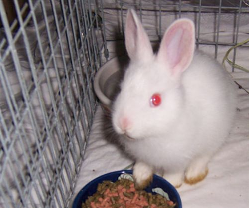 Denali Baby Ruby Eyed White Rabbit Probably A Male Dwarf Mix But Too Young To Tell Just Yet Very Active Curio Animals Beautiful Animal Shelter Animals