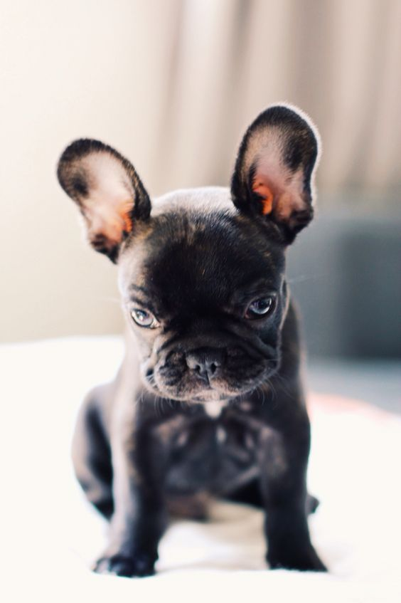 Biscuit the Frenchie                                                                                                                                                      More