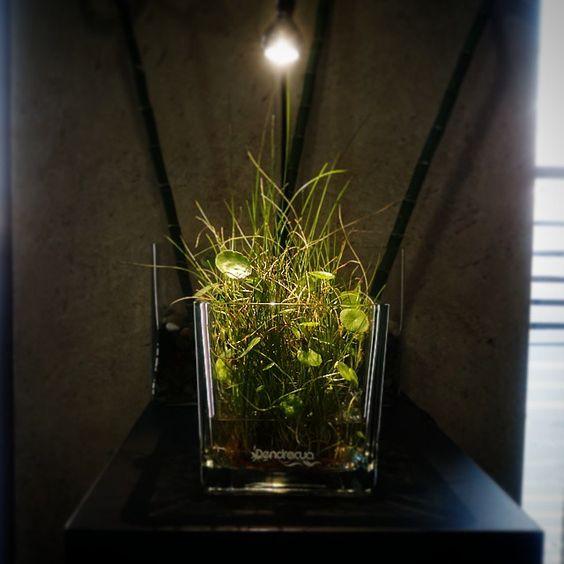 Green Wabikusa en gestoria Blasco www.dendroacua.com  #aquaticplant#japan#nature#plants#aquadesign#design#acuario#dendroacua#green#wabikusa#