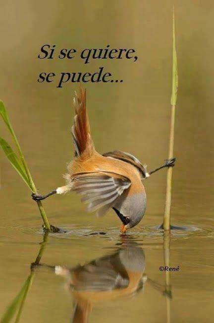 Imagenes de aves con frases de superación. Esta imagen de una avecilla tomando agua en una difícil posición con esta frase bonita de motivacion y superacion la puedes descargar y compartir con tus …