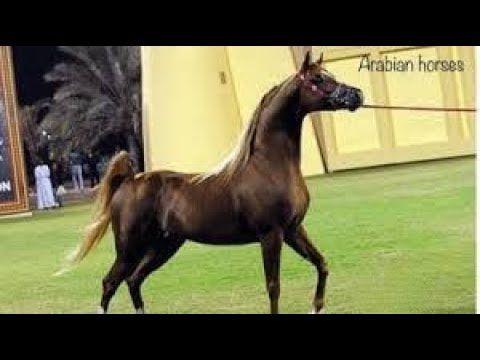 Arabian Horses Stallion Champion حصان عربي اصيل الراقص سبارتكوس ولد مروان الشقب حركة نارية Youtube Horse Videos Horses Horse Videos Youtube