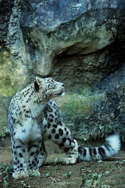 Spirit of snow leopard