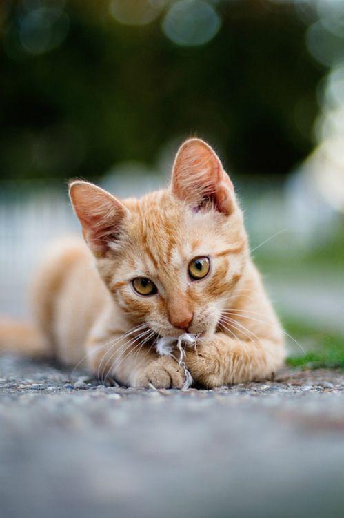 صور قطط باقة مختارة من أروع و أجمل القطط مع خلفيات Hd Orange Tabby Cats Cute Cats Kittens