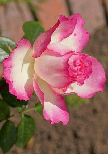 Hermosa rosa de Google +