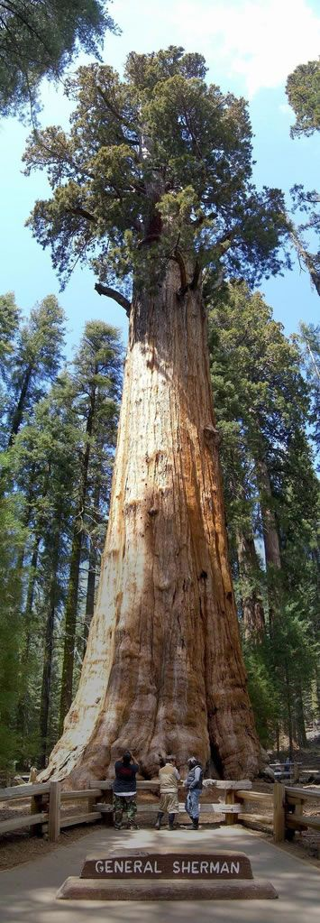 Giant Sequoias [wiki] (Sequoiadendron giganteum), which only grow in Sierra Nevada, California, are the world's biggest trees (in terms of volume). The biggest is General Sherman [wiki] in the Sequoia National Park – one behemoth of a tree at 275 feet (83.8 m), over 52,500 cubic feet of volume (1,486 m³), and over 6000 tons in weight.
