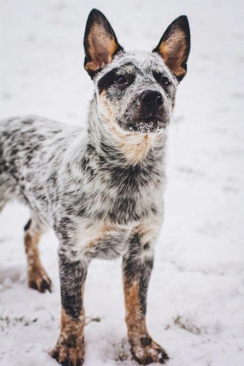 Fearful Dogs Austrailian Cattle Dog Blue Heeler Dogs Heeler